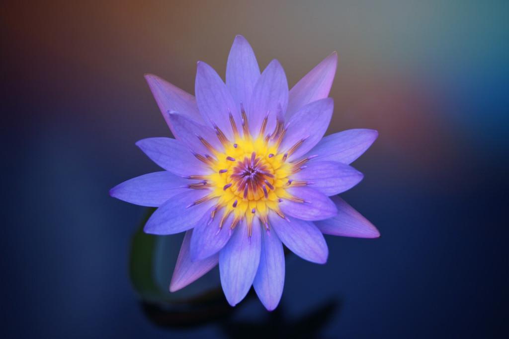 ウソみたいな蓮の花